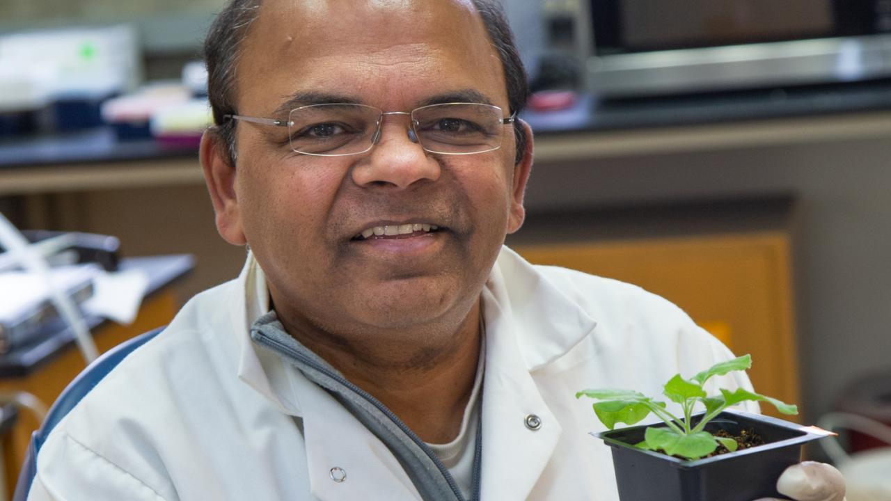 For his excellence in molecular plant pathology research, Professor Savithramma Dinesh-Kumar recently received the Noel T. Keen Award from The American Phytopathological Society. David Slipher/UC Davis